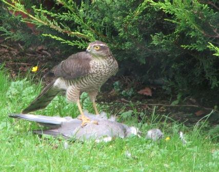 A female sparrowhawk after a successful hunt (J. Power)