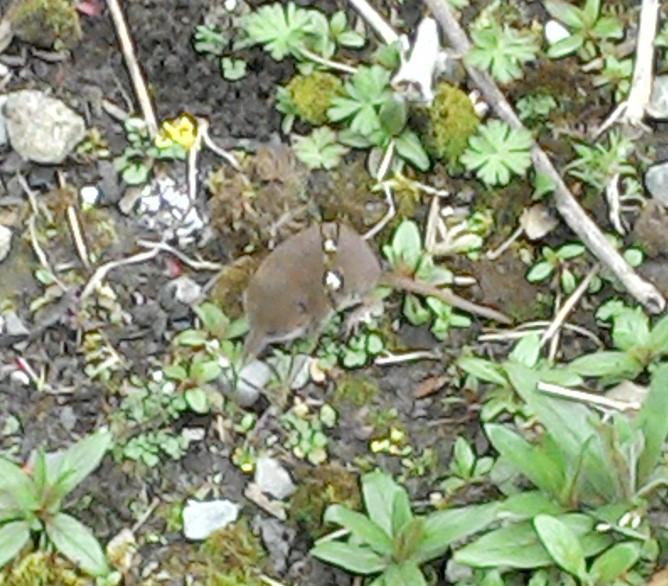 Ireland's Smallest Mammal
